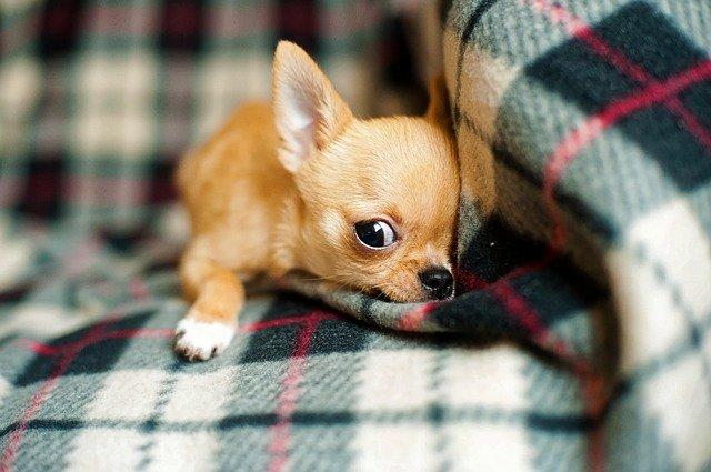 zrzavé štěně